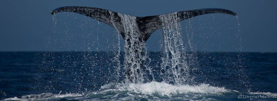 Do humpback whales feed in groups of males and females in the north atlantic?